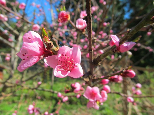 Peach blossoms in our garden
