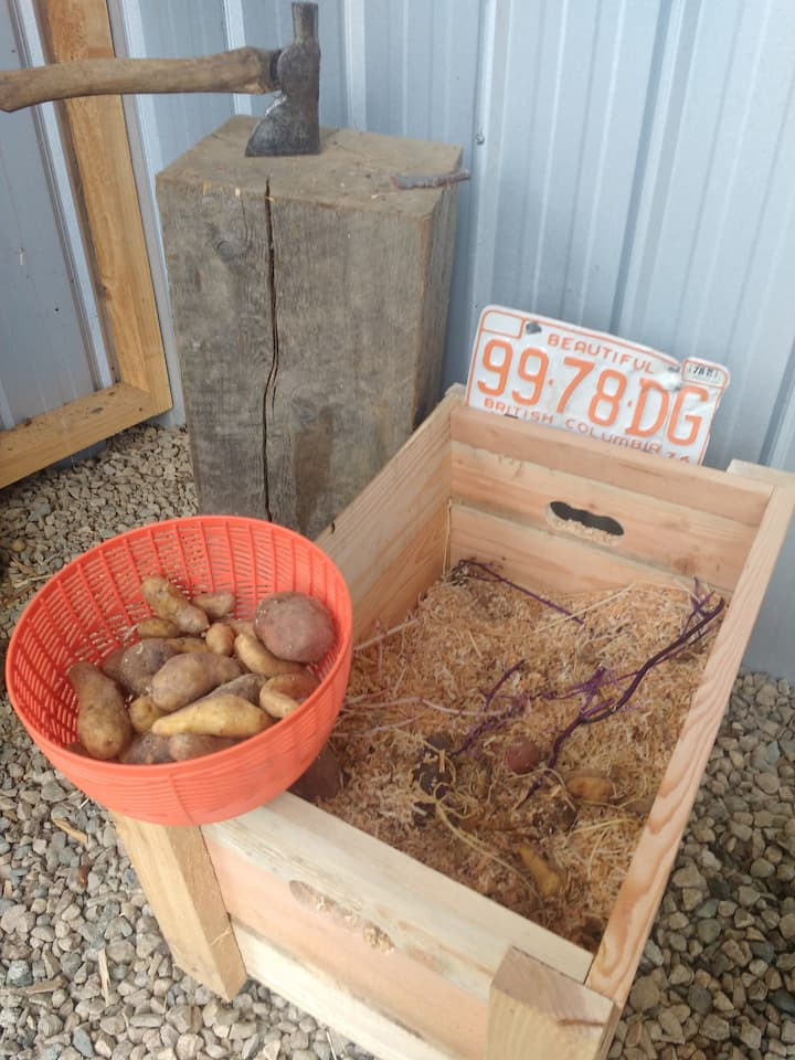 Potatoes to be eaten and planted