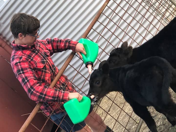 Bottle feeding calfs