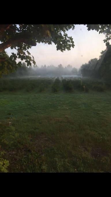 misty morning berries