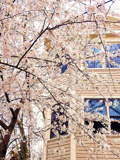 The cherry tree in the front yard in full bloom in early spring.