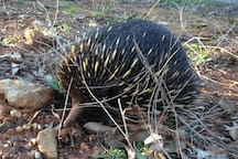 Our echidna