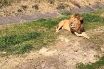 サファリワールドでは百獣の王ライオンも見れますよ。/ You can see the lions in the safari world.
