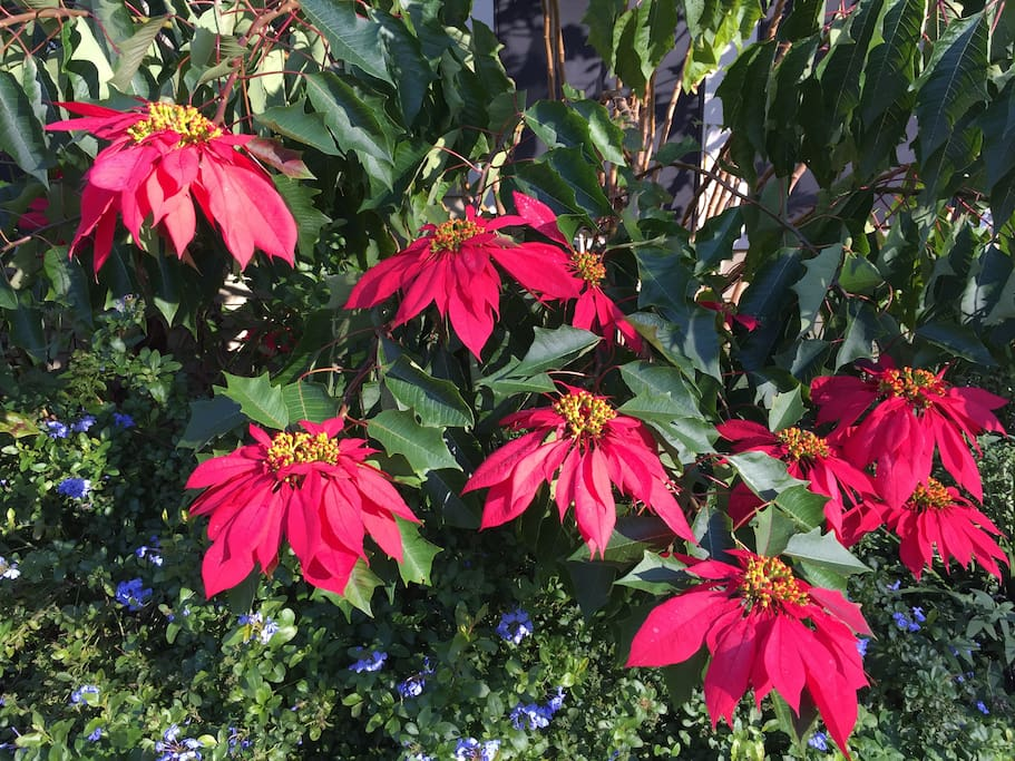 Poinsettias in full bloom!!!