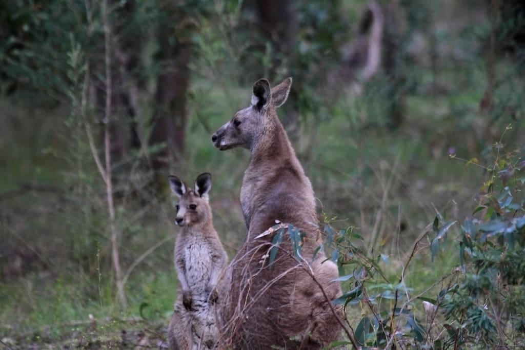 Mother and Joey on our Reserve