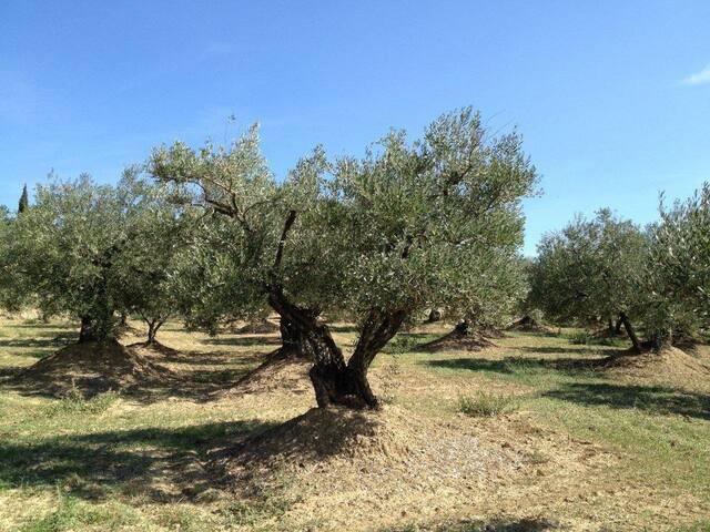 Champ d'oliviers route de Chateauneuf de Bordette