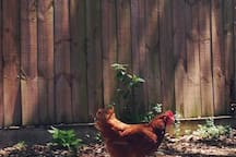 The neighbor's chickens sometimes visit in the driveway during the day...