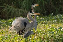 Heron couplet