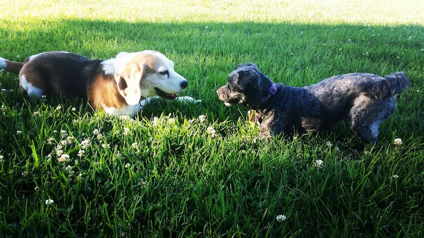 """The Welcome Wagon"" ... Little Beagle and Stella."
