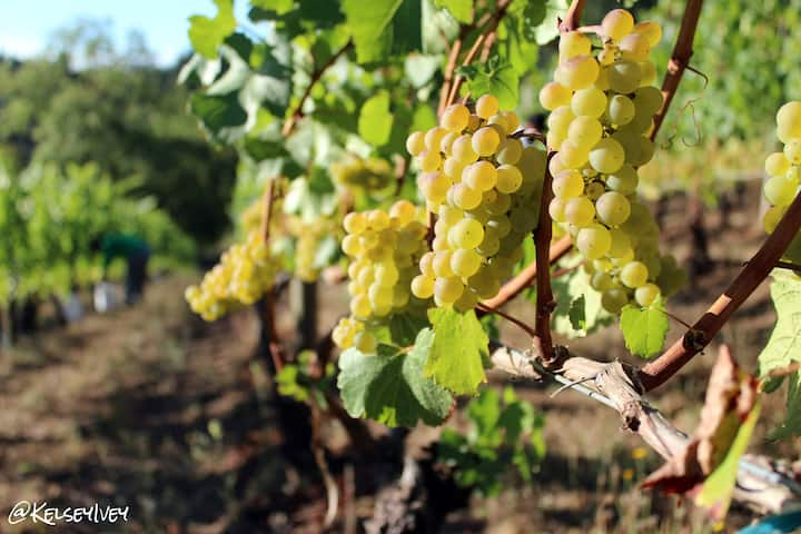 Learn a bit about treasured local wine