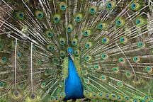 The peacock may want to impress you.