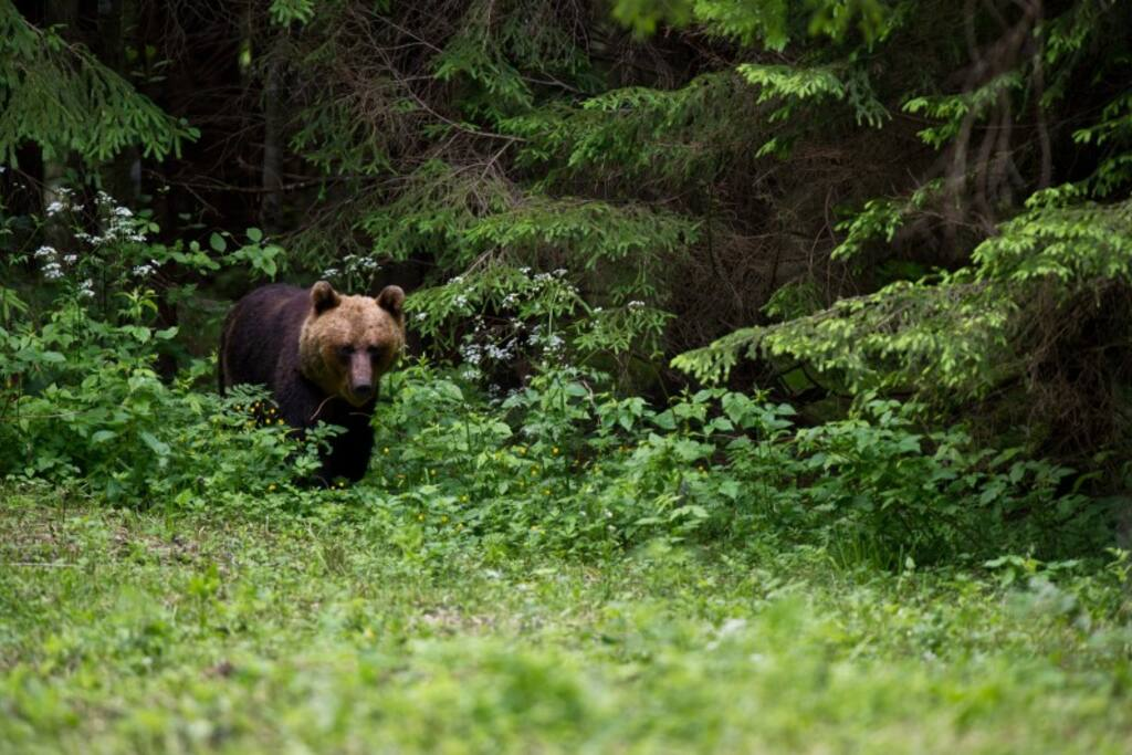 Brown Bear coming out