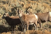 There is a herd of Rocky Mountain Bighorn Sheep that can often be seen near the property.  These are somewhat rare animals and we are lucky to have a population of them here in the Southern Rockies.