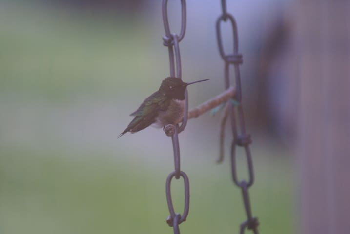 Ruby Throated Hummingbirds normally arrive about the end of April.