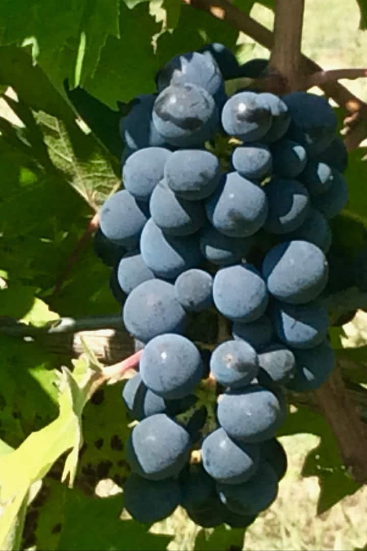 Tour process from grapes to bottle