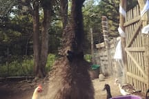 Our emu Ike dressed in his finest bow tie for a special occasion