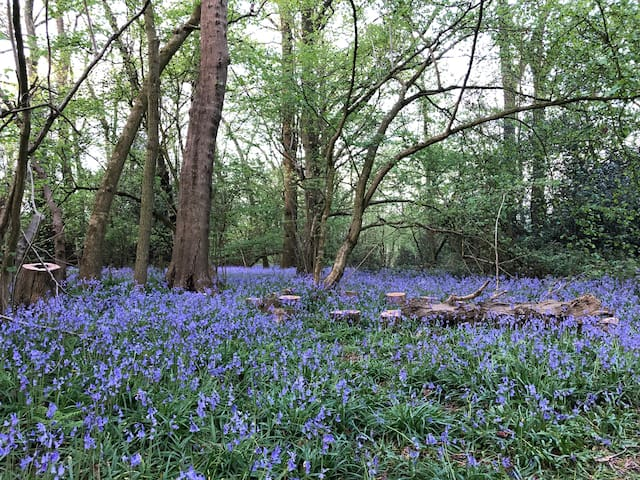 Our woodland with the bluebells looking beautiful