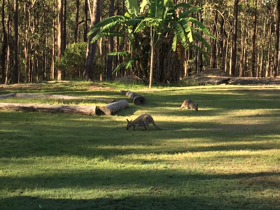 Wallabies in the front yard