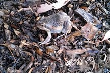 Pobblebonk (Eastern Banjo ) FROG. Late Oct near house.