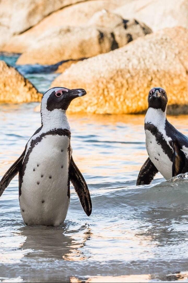 Penguin viewing at Boulders