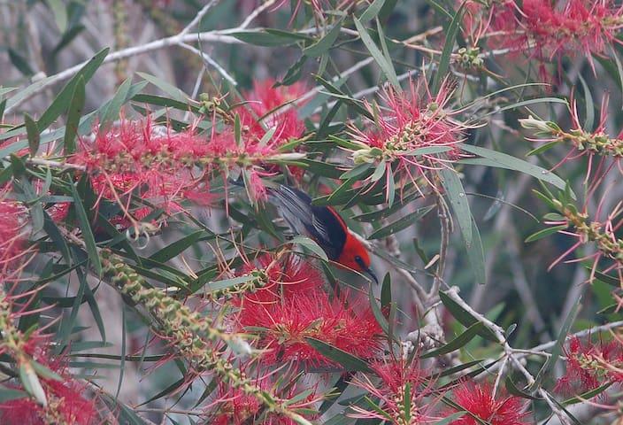A well hidden Scarlet Honeyeater
