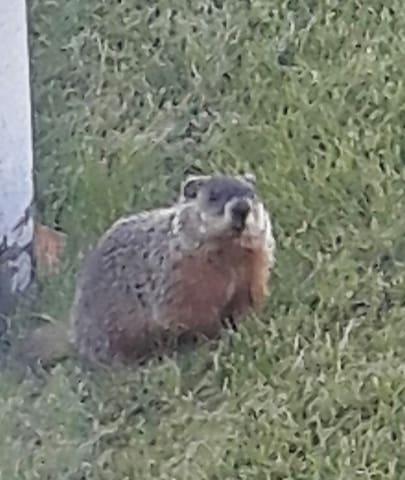 Quelques marmottes ont élu domicile sous le garage et se balade impunément au jardin.