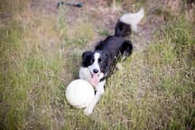 Heston - the Border Collie