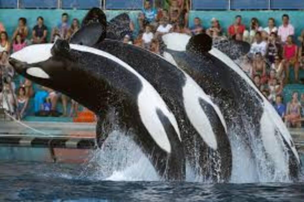 Le spectacle des orques à Marineland