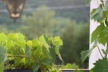 Grapes on the balcony