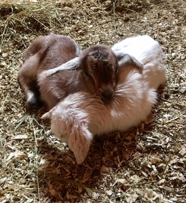 Baby goats born last week of April, 2017.