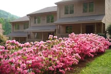 Azaleas in Spring Bloom