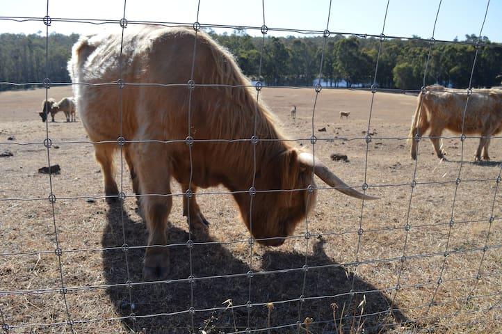 Fergus our Highland Bull