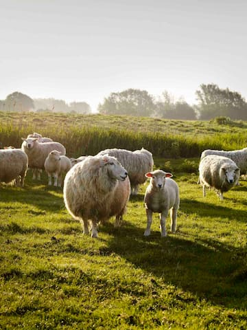 Set on a traditional sheep farm. The flat fields of Romney Marsh with Romney Sheep.