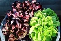 Fresh produce in our garden.