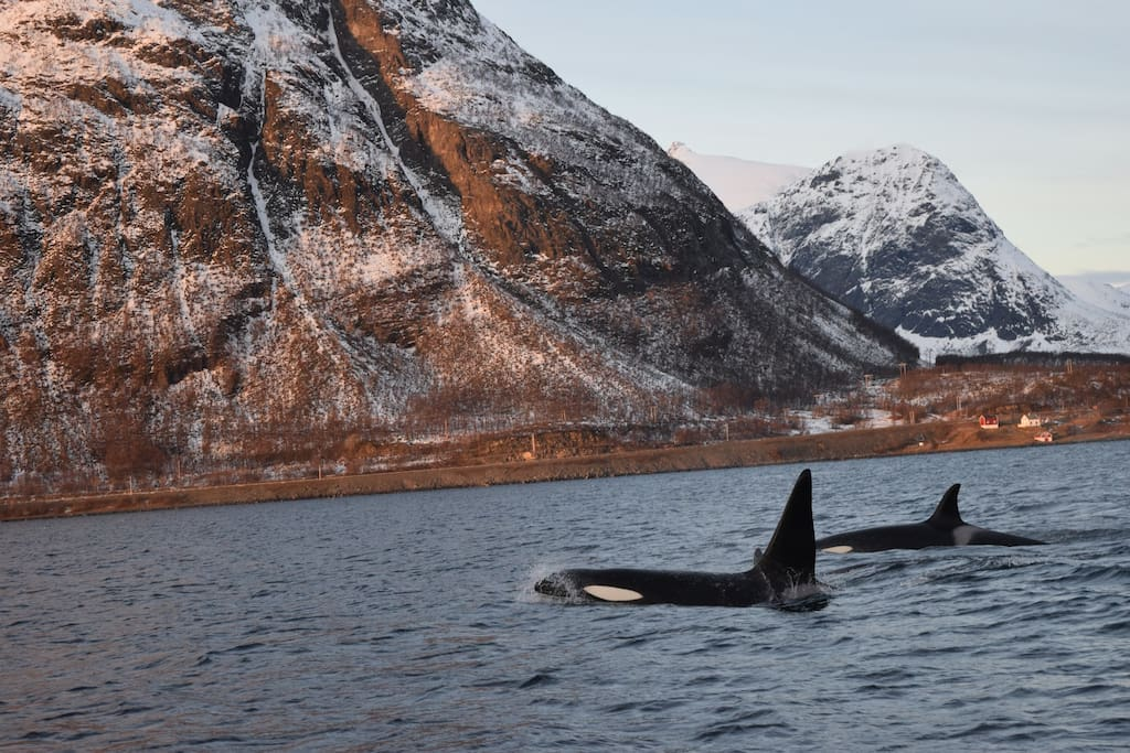 Orcas can be spotted just two minutes off shore!