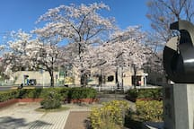 Place in front of Shin-Kashiwa station with very beautiful cherry blossoms