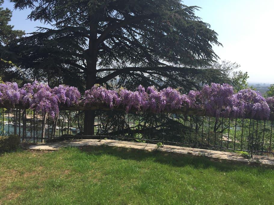 Jardin privatif avec ses glycines