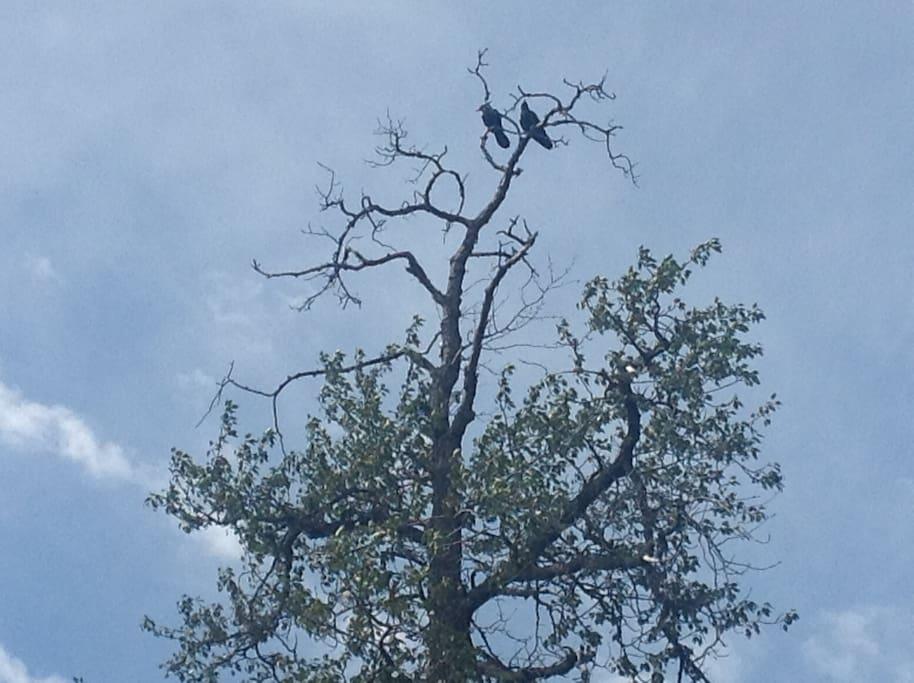 Pair of visiting ravens