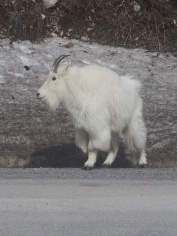 Mountain Goats frequently spotted near our Home