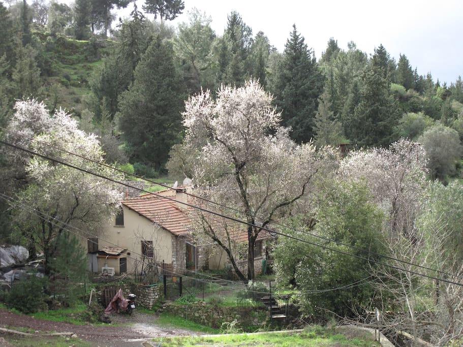 House is surrounded with almond trees