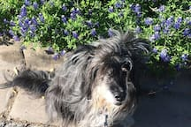 Mari among the bluebonnets.