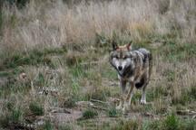 Wolven zijn nu vaste bewoners van de Veluwe, maar de kans is klein dat u het koppeltje met 3 welpen in dit gebied zult spotten.