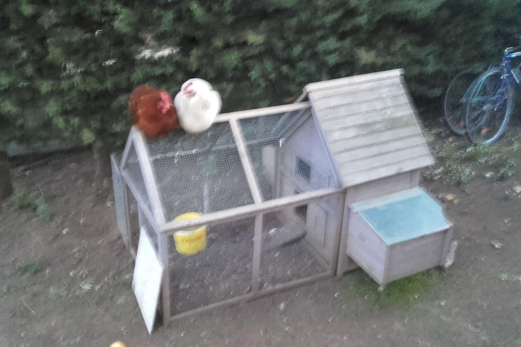 j ai 3 poules qui donnent des oeufs frais tous les jours