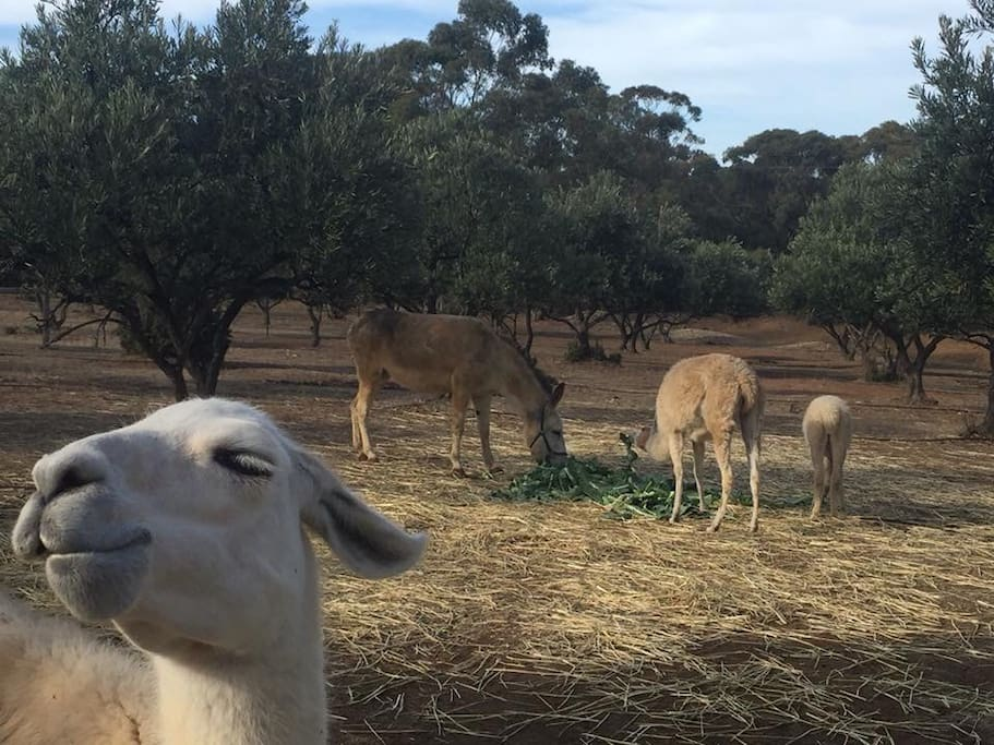 Cisco, our rescue llama, photo bombing!