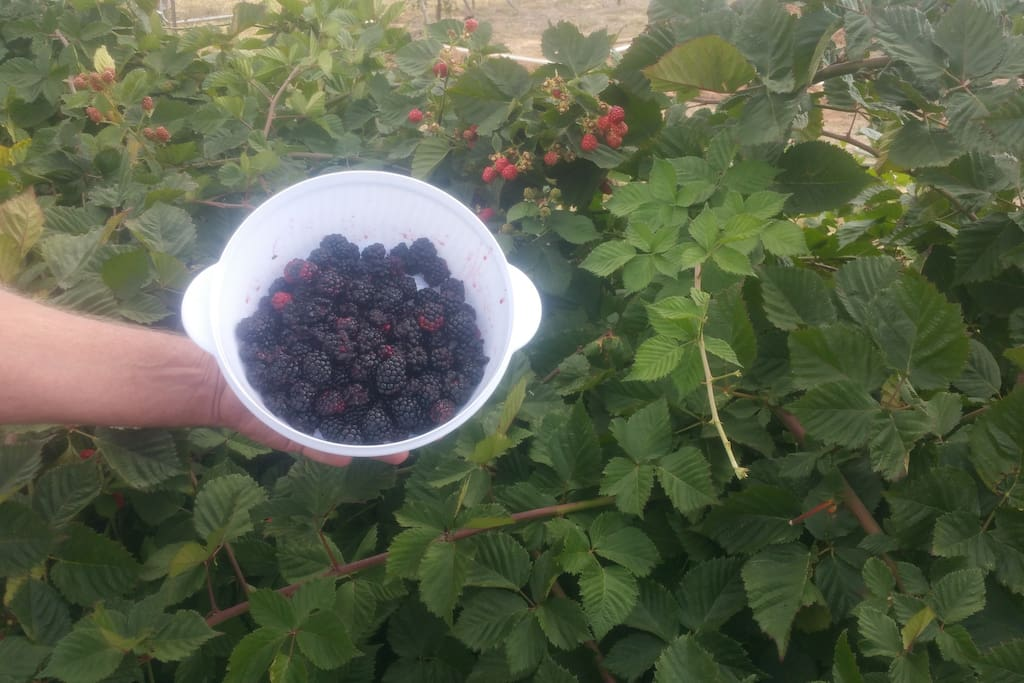 Fresh boysenberries!