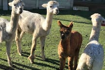 Our friendly Alpaccas