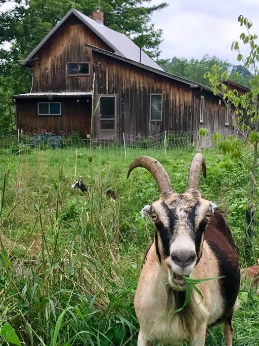 Resident goat