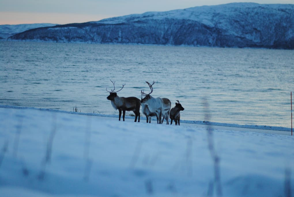 Reindeers in the yard