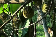 Durians on our tree.