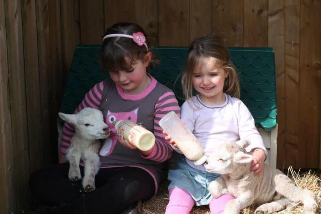 Daily feeding of animals